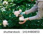 woman gardener holding a peony... | Shutterstock . vector #1414480853