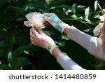 woman gardener holding a peony... | Shutterstock . vector #1414480859