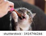 Stock photo the cat is chewing on a treat the cat takes the treat from hand 1414746266