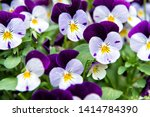 Heartsease Viola Flower. Viola...