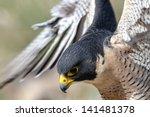 Close Up Of Peregrine Falcon A...