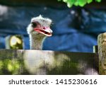 The Ostrich Is Looking At You...