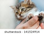 Stock photo cute kitten in the hands of woman 141524914