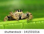 Hyllus Diardi  Jumping Spiders...