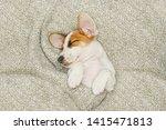 cute  puppy jack russell dog...   Shutterstock . vector #1415471813