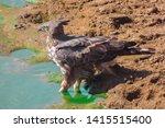 sharp shinned hawk in sri lanka   Shutterstock . vector #1415515400