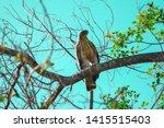 sharp shinned hawk in sri lanka   Shutterstock . vector #1415515403