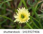 katydid nymph on smooth golden... | Shutterstock . vector #1415527406