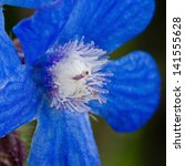 Small photo of Close up of a single bright blue flower of Anchusa azurea (alkanet) with glass like stamens.