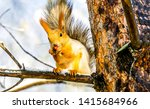 Stock photo squirrel on tree in forest squirrel eat nut on tree branch squirrel on tree branch squirrel 1415684966
