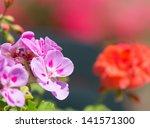 Pink Geranium Closeup With Red...