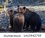 Grizzly Bear(s) at Orford River, Campbell River, British Columbia Canada