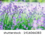 field of purple flowers soft... | Shutterstock . vector #1416066383
