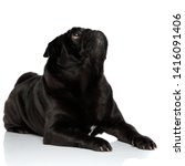 Eager Black Pug Curiously...