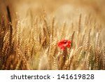 Small Red Poppie  In Golden...