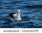 Small photo of Antipodean Albatross in Australia and New Zealand