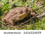 Common Toad Or European Toad...