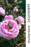 "emerald gold bug ""cetonia... | Shutterstock . vector #1416450899"