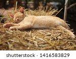 Stock photo cute sleeping kitten on straw 1416583829
