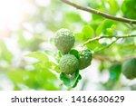 Fresh Bergamot Fruits On...