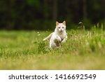 Cute White Pet Cat Running...