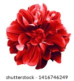 Red  dahlia. flower on the...