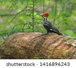A Pileated Woodpecker Hops On...
