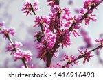 Flowering Eastern Redbud Tree...