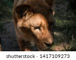 Small photo of Lionesses do most of the hunting for their pride. They are more effective hunters, as they are smaller, swifter, and more agile than the males and unencumbered by the heavy and conspicuous mane, which