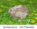 Stock photo little grey bunny rabbit brown hare in grass with dandelions 1417366460