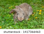 Stock photo little grey rabbit bunny or hare in the grass with dandelions 1417366463