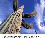 Saguaro Cactus In The Sonoran...