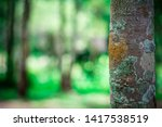 old tree with lichen in the... | Shutterstock . vector #1417538519