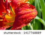 lilies lilium lily   flowers... | Shutterstock . vector #1417768889