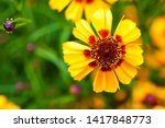 Yellow Flowers Of Coreopsis....