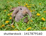 Stock photo rabbit or bunny or hare grey in the grass dandelion 1417879160