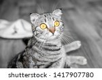 Stock photo young crazy surprised cat make big eyes closeup british surprised cat or kitten funny face big 1417907780