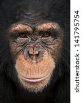 Close Up Of A Chimpanzee...