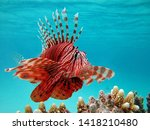 Fish Lion  Lionfish Warrior ...
