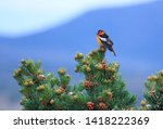Bullock's oriole perching on a...