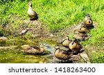 Ducks On River Shore View....