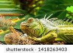 Iguana Iguana. Iguanidae....