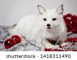 Small photo of White fox on a white background with red Christmas balls