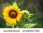 Sunflower With Green Bud...