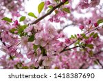 pink apple tree flowers in... | Shutterstock . vector #1418387690