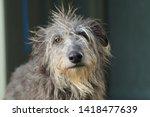 shaggy grey cute deerhound... | Shutterstock . vector #1418477639