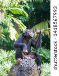 A Chimpanzee Sit On The Rock...