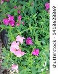 Snapdragon Flowers In Various...