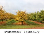 Small photo of Apple orchard in late autumn with leaves changing color and red apples fallen on ground due to downturn in market at Donnybrook, Western Australia.