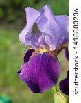 iris flowers bloom in the...   Shutterstock . vector #1418883236